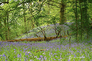 Micleton Bluebell woods near Ilmington in the Cotswolds - photo by Betty Stocker (c) - www.bettystocker.com